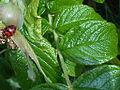 5Harmonia axyridis.jpg