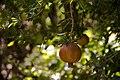 756672 T7DdCDJkانار سرخه بهترین و شیرینترین انار دنیا.jpg