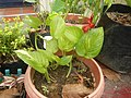 9663Ornamental plants in the Philippines 09.jpg