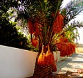 A@a palm Trees Deftera village nicosia cy. - panoramio (2).jpg