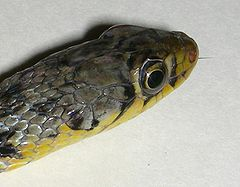 AB027 buff striped keelback 10.JPG