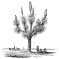 AGTM D272 Yucca tree.png