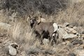 A bighorn sheep in Colorado National Monument, a preserve of vast plateaus, canyons, and towering monoliths in Mesa County, Colorado, near Grand Junction LCCN2015633071.tif