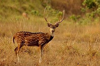 Chital A species of mammals belonging to the deer, muntjac, roe deer, reindeer, and moose family of ruminants