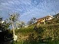 A cow in the Uttarakhand hills.jpg