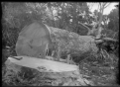 A kauri tree which has just been felled. ATLIB 293486.png