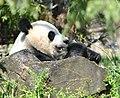 A panda behind a rock.jpg