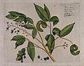 A plant (Mimosa bigemina Linn.); branch with flowers, pods a Wellcome V0042648.jpg