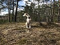 A whippet in the forests of Sweden.jpg
