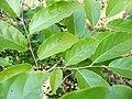 Aaval-Leaf.jpg