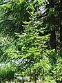 Abies pindrow India4.jpg
