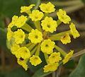 Abronia latifolia flowers (Yarnell).JPG