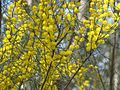 Acacia rigens.jpg