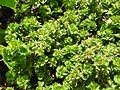 Acalypha wilkesiana hoffmannii-1-yelagiri-vellore-India.jpg