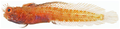 Acanthemblemaria aspera - pone.0010676.g155.png