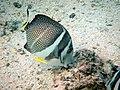 Acanthurus guttatus.JPG