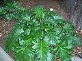 Acanthus mollis 5.jpg