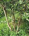 Acca sellowiana multitrunk.jpg