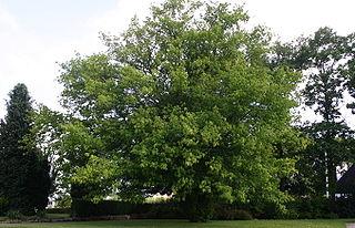 Javorovec jaseňolistý (lat. Negundo aceroides)