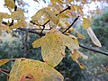 Acer monspessulanum en automne - 03.jpg