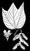 Acer pensylvanicum drawing.png