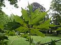 Acer platanoides dissectum Friedau 01.JPG