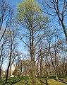 Acer platanoides habitus.jpg