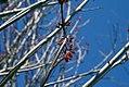 Acer rubrum Red Sunset 8zz.jpg