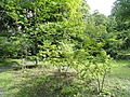 Acer tschonoskii - Botanical Garden in Kaisaniemi, Helsinki - DSC03752.JPG