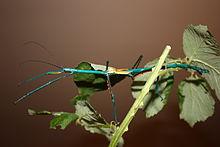 https://upload.wikimedia.org/wikipedia/commons/thumb/a/a7/Achrioptera_fallax_-_male.JPG/220px-Achrioptera_fallax_-_male.JPG