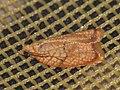Acleris forsskaleana - Maple leaftier moth (41284097632).jpg