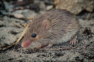 Cape spiny mouse species of mammal