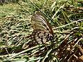 Acraea andromacha (5587454074).jpg