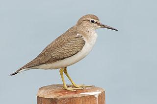 Common sandpiper species of bird
