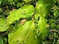 Aculops rhois galls. Poison ivy leaf.jpg