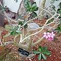 Adenium obesum-Jardin des Plantes de Paris (2).jpg