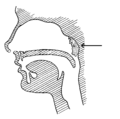 Adenoids (PSF).png