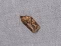 Adoxophyes sp. (27219445058).jpg