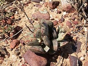 Adromischus triflorusin der Kleinen Karoo nahe Barrydale in der südafrikanischen Provinz Westkap