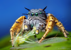 Adult male Phidippus mystaceus feeding on a Chrysopid.png