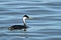 Aechmophorus occidentalis -Tule Lake, Siskiyou County, California, USA-8.jpg