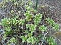 Aeonium sedifolium.jpg