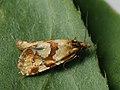 Aethes hartmanniana - Scabious conch (41277334372).jpg