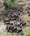 African Buffaloes (Syncerus caffer) drinking ... (31532750653).jpg