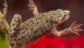 African dwarf frog cutted.png
