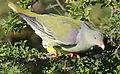 African green pigeon, Treron calvus, Kruger main road near Punda Maria turn-off, Kruger National Park, South Africa (26186649126).jpg