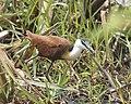 African jacana (Actophilornis africanus) 2.jpg