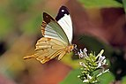 African swallowtail (Papilio dardanus antinorii ) male underside.jpg