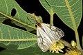 Agalope formosana (26022172516).jpg