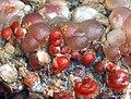 Agat winogronowy (agate grape) - San Rafael Swell, Emery County, Utah, USA. (cropped).jpg